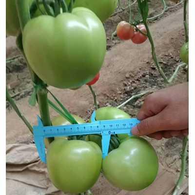 嘉峪关西红柿苗 大粉西红柿苗抗死棵品种
