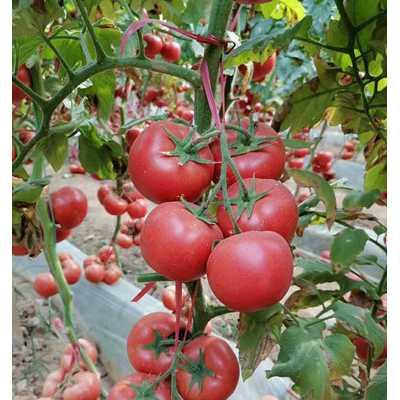 兰州西红柿苗厂家 大粉西红柿苗批发