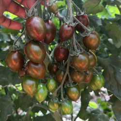 平凉西红柿苗 普罗旺斯粉果西红柿苗